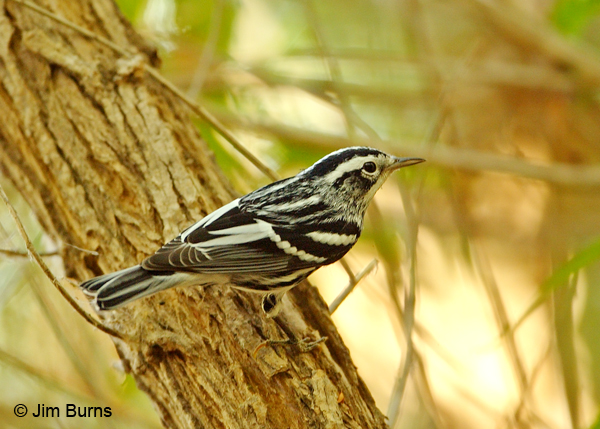 Black-and-white Warbler male dorsal view