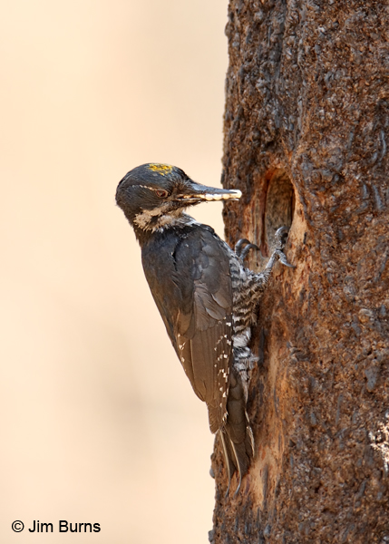 Black-backed Woodpecker male with egg sacks for nest