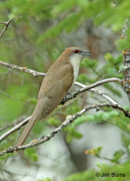 Black-billed Cuckoo calling