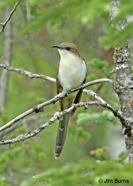 Black-billed Cuckoo undertail pattern