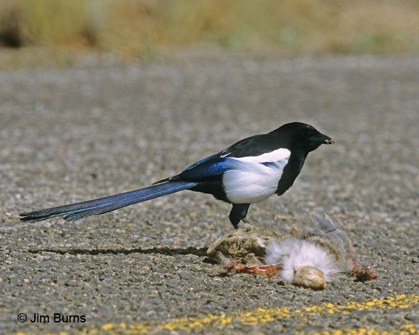 Black-billed Magpie on roadkill