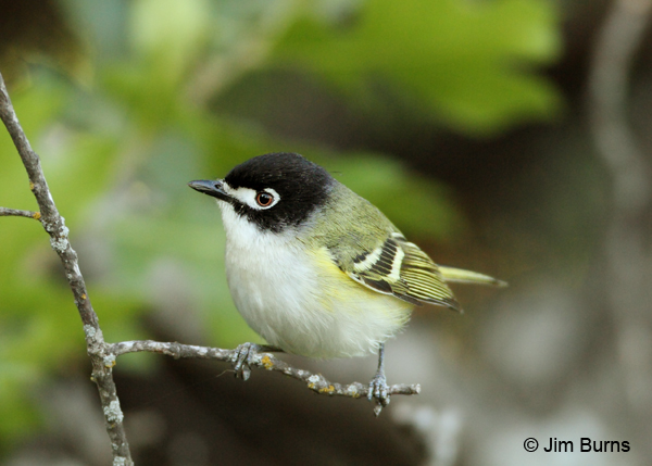 Black-capped Vireo male dorsal view