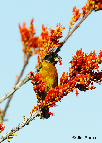Black-headed Grosbeak male eating ocotillo flowers