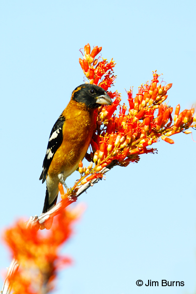 Black-headed Grosbeak male in ocotillo