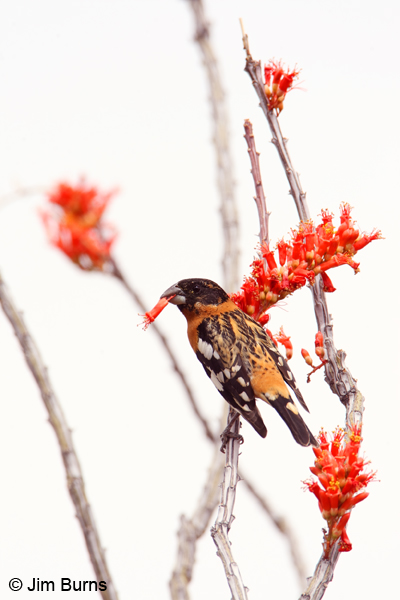 Black-headed Grosbeak male with Ocotillo bloom