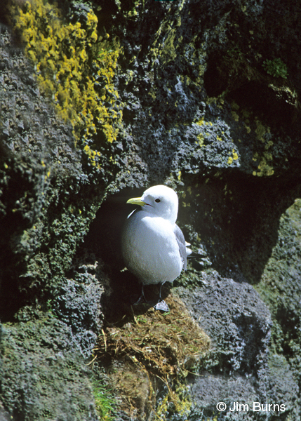 Black-legged Kittiwake at nest