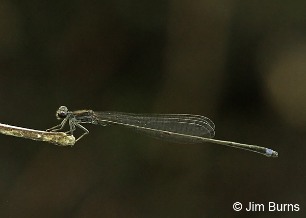 Blackwater Bluet male #2, Chesterfield Co., SC, May 2014