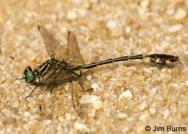 Blackwater Clubtail male, Escambia Co., FL, May 2018--9171
