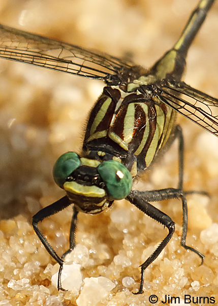 Blackwater Clubtail male face and thorax, Escambia Co., FL, May 2018--9175
