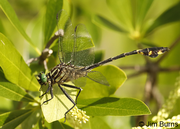 Blackwater Clubtail male in greenery, Escambia Co., FL, May 2018--9378