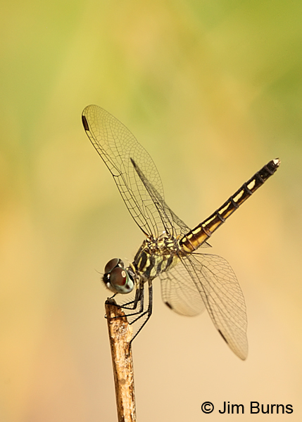 Blue Dasher female, Maricopa Co., August 2013