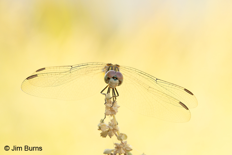 Blue Dasher female #2, Maricopa Co., AZ, August 2011