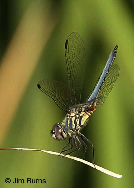 Blue Dasher immature male, Maricopa Co, AZ, October 2015