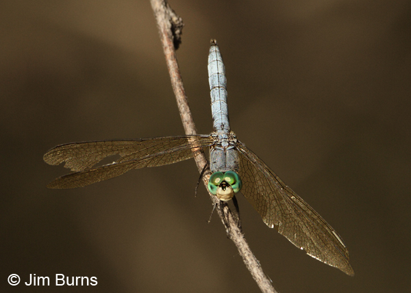 Blue Dasher male, Cochise Co., AZ, October 2012