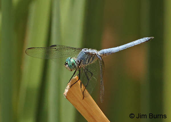 Blue Dasher male, Maricopa Co., AZ, July 2014