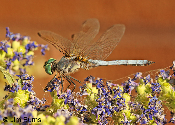 Blue Dasher male in Chaste Tree blossoms, Maricopa Co., AZ, May 2014