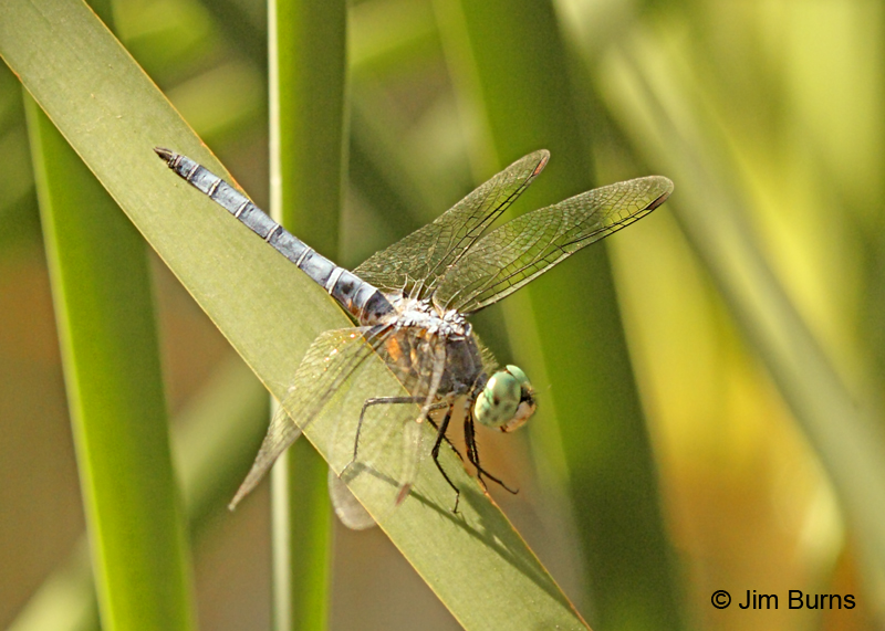 Blue Dasher male western #2, Maricopa Co., AZ, August 2011