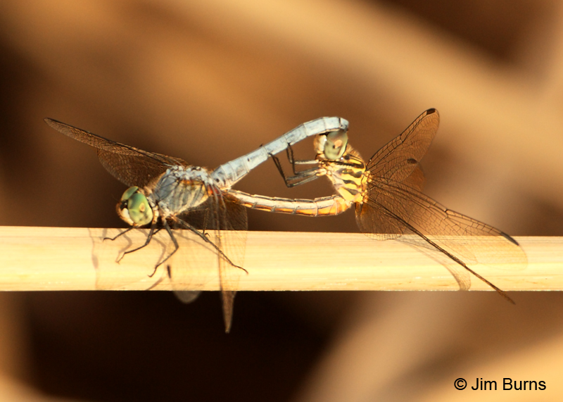 Blue Dasher pair in wheel, Maricopa Co., August 2011