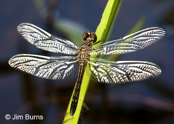 Blue Dasher teneral male, Chesterfield Co., VA, June 2017