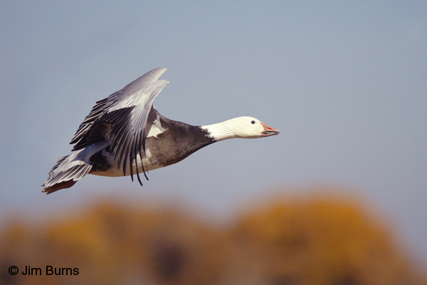 Blue Goose on autumn background