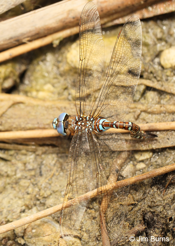 Blue-eyed Darner blue female ovipositing, Pinal Co., AZ, September 2011