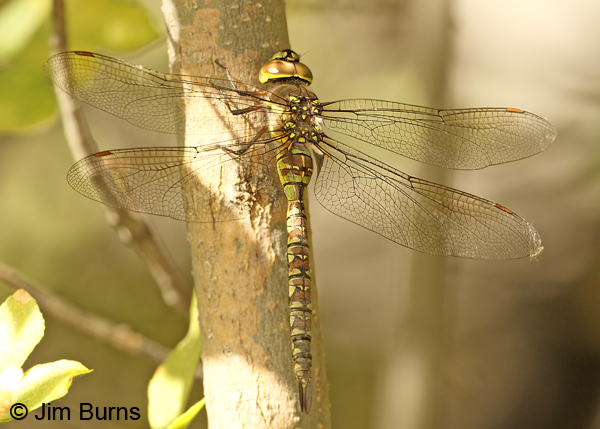 Blue-eyed Darner female, Cochise Co., AZ, October 2012