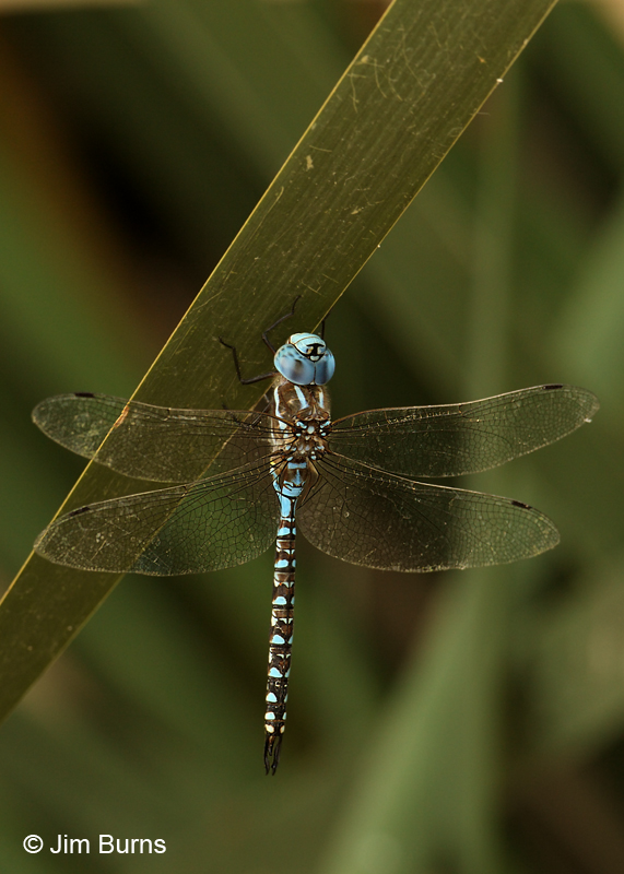 Blue-eyed Darner male, Pima Co., AZ, August 2011