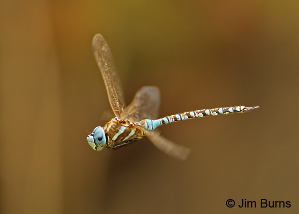 Blue-eyed Darner male in flight, Cochise Co., AZ, July 2012