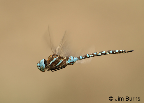 Blue-eyed Darner male in flight, Santa Cruz Co., AZ, July 2012