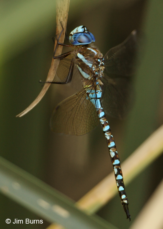 Blue-eyed Darner male profile, Pima Co., AZ, August 2011