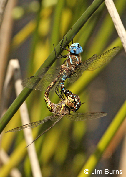 Blue-eyed Darner pair in wheel, Apache Co., AZ, Augurst 2012