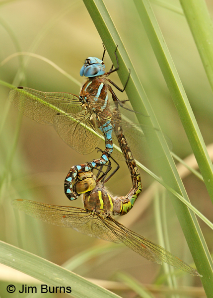 Blue-eyed Darner pair in wheel, Santa Cruz Co., AZ, July 2012