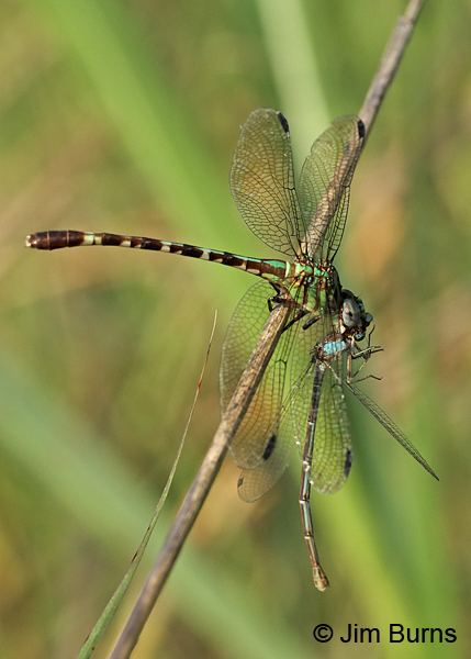 Blue-faced Ringtail female eating Blue-fronted Dancer, Gonzales Co., TX, August 2017