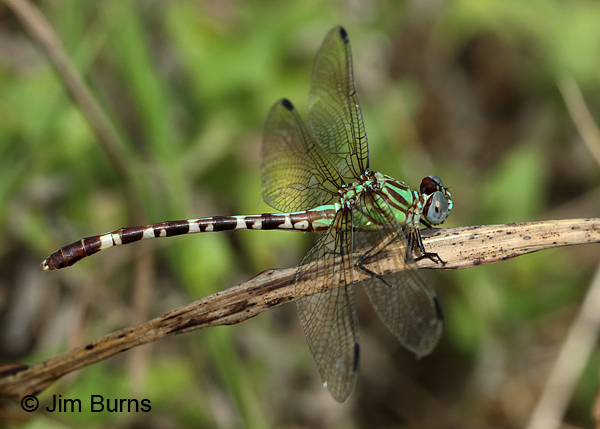 Blue-faced Ringtail female on grass, Gonzales Co., TX, August 2017