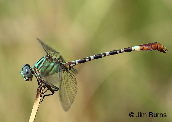 Blue-faced Ringtail male, Gonzales Co., TX, August 2017