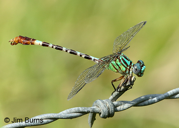 Blue-faced Ringtail male on fence, Gonzales Co., TX, August 2017