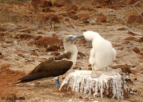 Blue-footed Booby male feeding chick
