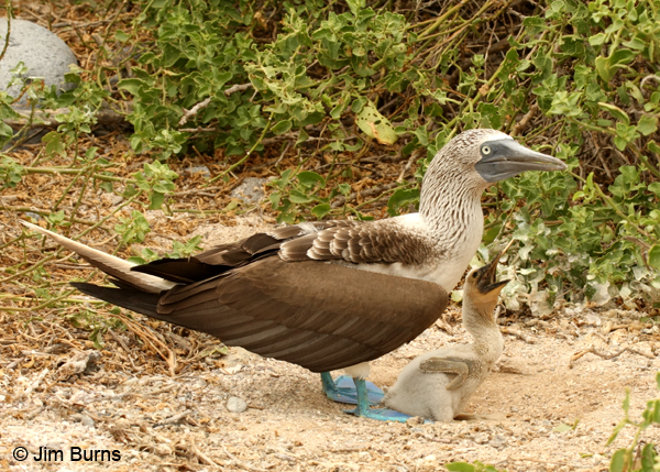 Blue-footed Booby male with chick