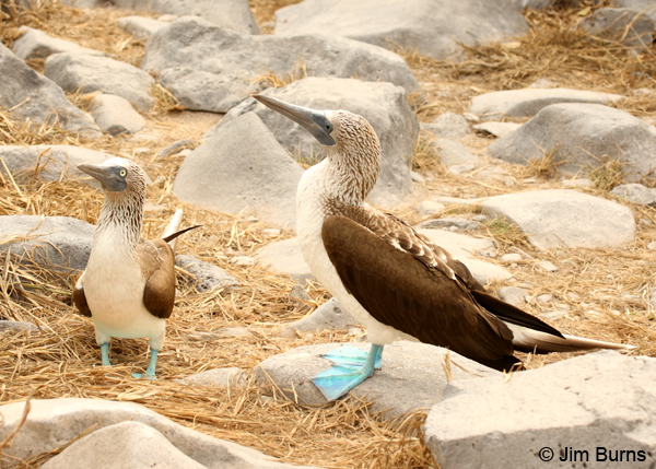 Blue-footed Booby pair (male left, female right)