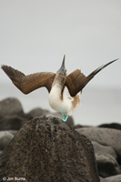 Blue-footed Booby male displaying