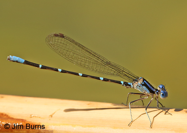 Blue-ringed Dancer male, Maricopa Co., AZ, June 2014
