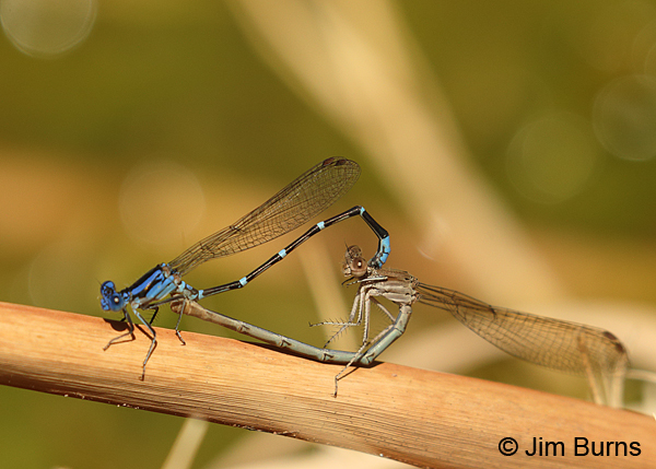 Blue-ringed Dancer pair in wheel, Maricopa Co., AZ, April 2016