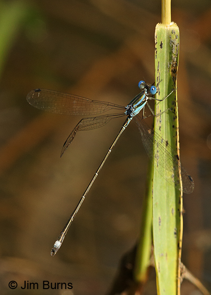 Blue-striped Spreadwing male, Cameron Co., TX, October 2014