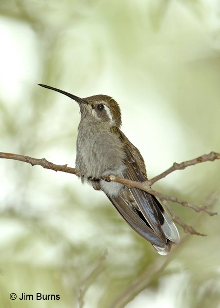 Blue-throated Hummingbird female