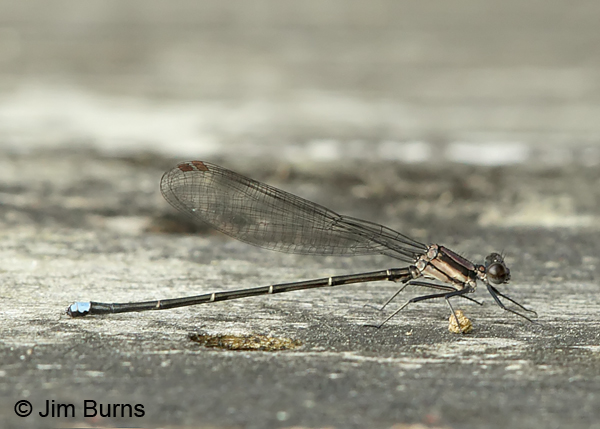 Blue-tipped Dancer male, Horry Co., SC, May 2014