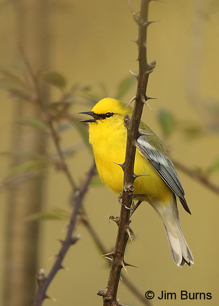 Blue-winged Warbler male singing