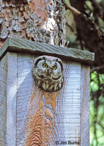 Boreal Owl in nest box hole
