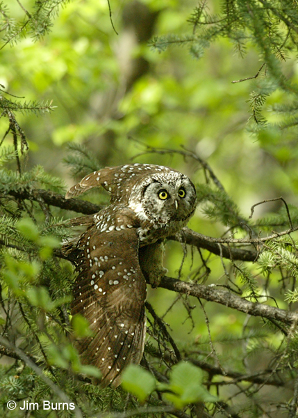 Boreal Owl taking off
