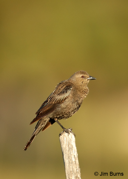 Brewer's Blackbird female