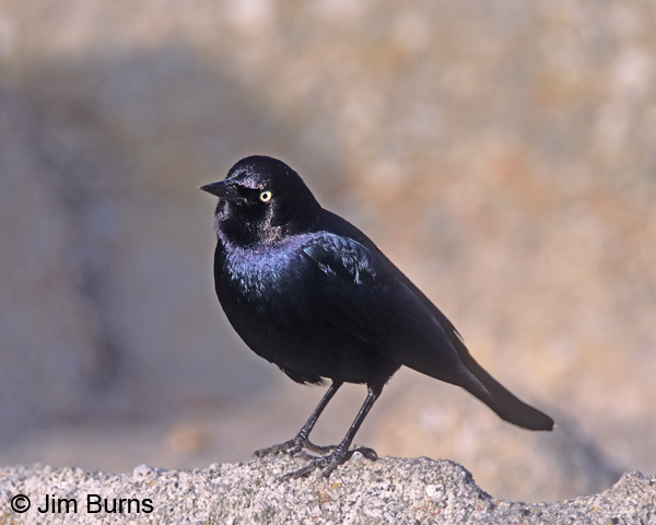 Brewer's Blackbird male purple iridesence